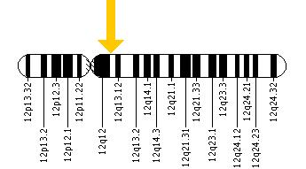 The KRT81 gene is located on the long (q) arm of chromosome 12 at position 13.