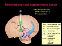 Mesolimbocorticol dopaminergic circuit