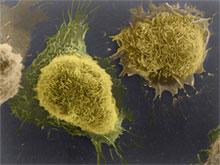 Laboratory-grown cells. Credit: Tina Carvalho, University of Hawaii at Manoa