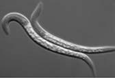Roundworms.