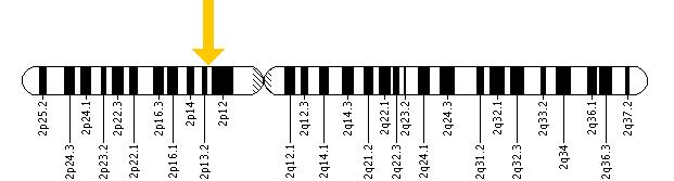 The ALMS1 gene is located on the short (p) arm of chromosome 2 at position 13.