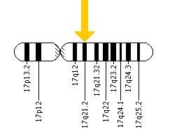The KRT16 gene is located on the long (q) arm of chromosome 17 at position 21.2.