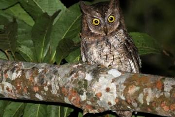 The newly-discovered Rinjani scops owl, or Otus jolandae.