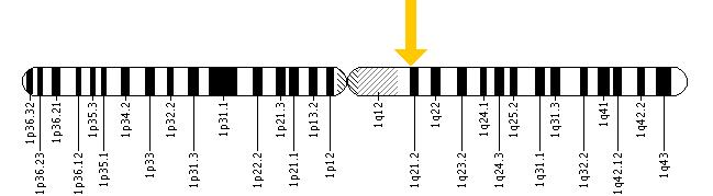 The TPM3 gene is located on the long (q) arm of chromosome 1 at position 21.2.